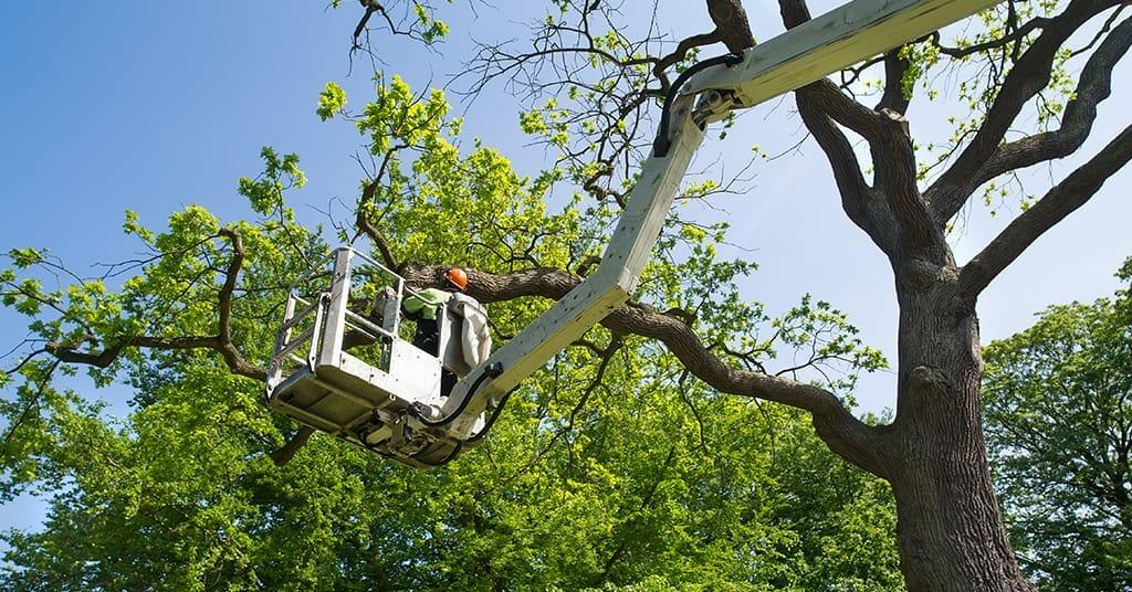 Fuquay-Varina Tree Pruning